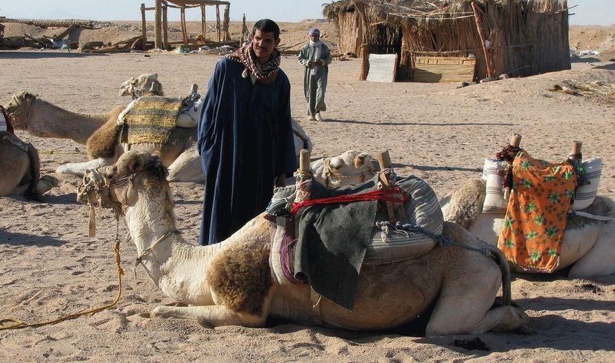 верблюди хургада
