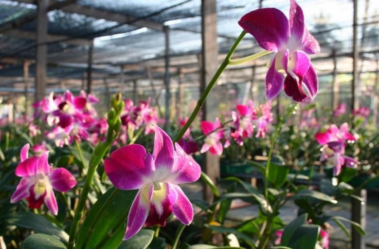 ферму по выращиванию орхидей в Паттайе