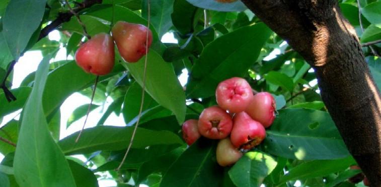Фрукты Вьетнама - «Водяное розовое яблоко»