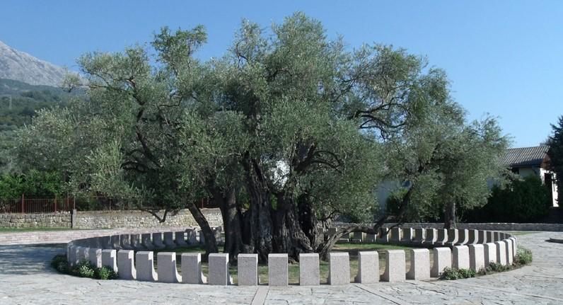 старая маслина в Черногории (город Бар)