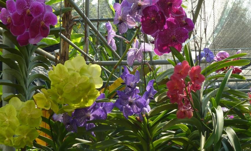 Цветы Таиланда - Орхидея