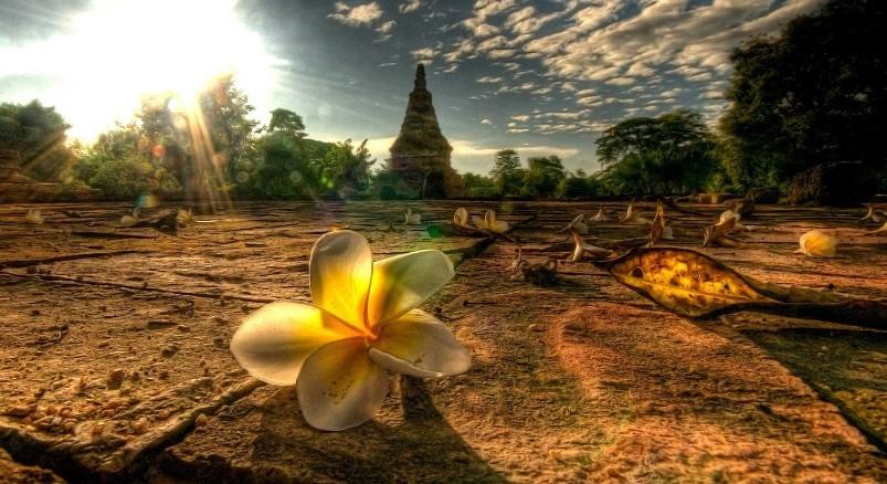 Цветы Таиланда - Плюмерия