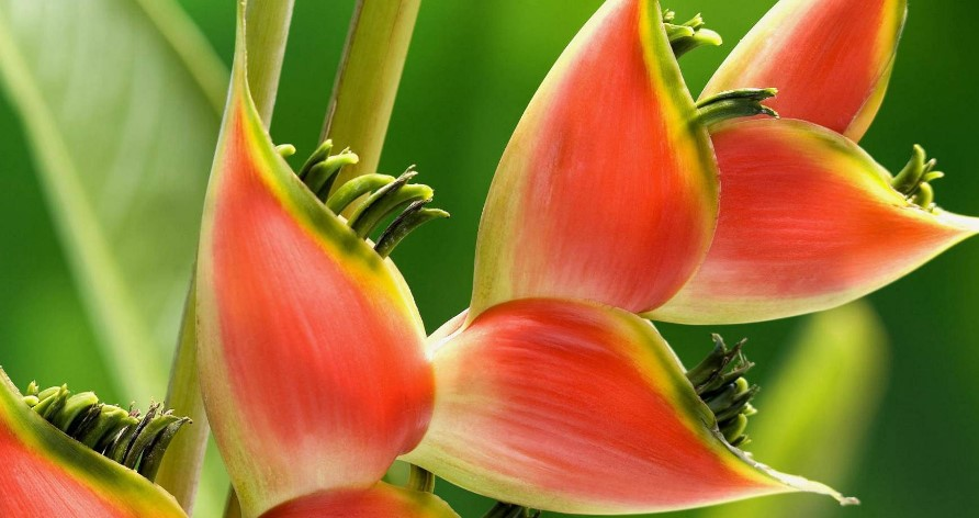 Цветы Таиланда - Геликония